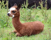 Young Brown Alpaca Resting