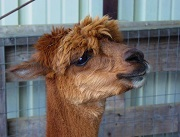 Light Brown Alpaca Face