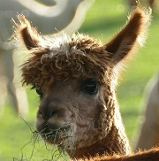 Photo of an Alpaca Munching on some Hay by BabaMu
