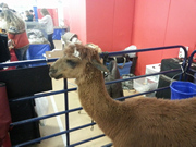 Alpaca named Santana from Illusion Ranch visits the Long Island Pet Expo