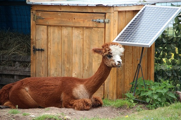 Alpaca taking a rest after installing Solar Power Panel