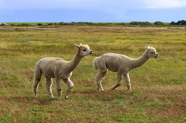 Alpacas looking for lost Golf Ball