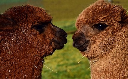 Photo of brown Alpaca nose to nose by Ulleo