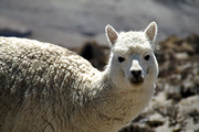 Photo of White Alpaca taken by Peter Verdnik somewhere between Arequipa and Colca Canyon in Peru