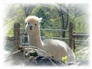 Alpaca Lace resident Alpaca of the Walnut Creek Alpacas Farm
