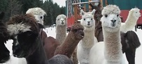 Alpaca and Llamas Winter Walkabout with the Dogs