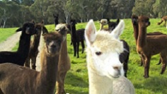 Alpaca of Andean Gold Alpacas