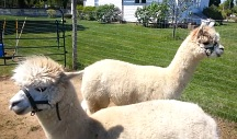 Alpaca on Long Island at the Hallockville Museum Farm