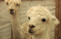 Alpaca Ownership with 1 Stop Alpaca Farm