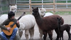 Alpaca Party Day Classical Guitarist Zach Page video
