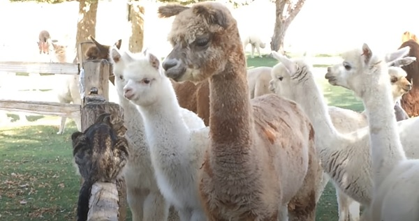 Alpacas are so curious of the kittens