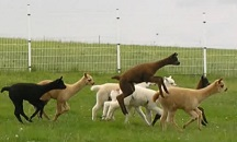 Alpacas from Silberberg having fun