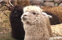 Alpacas in Peru Video