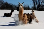 Alpacas of Make My Day Farm loving the Snow