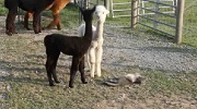 Baby Alpacas curious about a Cat