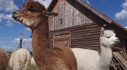 Beautiful Alpacas in Hungary