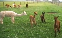 Cria Playing at Big Mount Alpacas