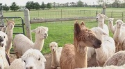 Humming Alpaca of Wind Walker Ranch