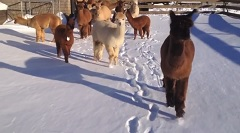 Video of Island Alpaca in Winter Snow 2014