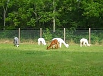Jersey Shore Alpacas enjoying a new pasture