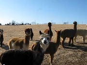 Osage Alpacas Enjoying a warm winter day