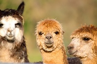 Photographs of the Wonderful Alpaca