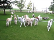 Play Time for Cria at A to Z Alpacas Farm