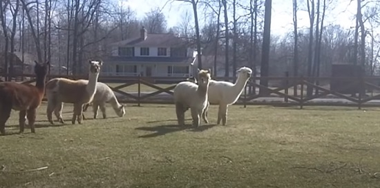 Playing Alpaca of Rocky Road Ranch Alpacas