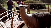 Video of Alpaca and Llama at the Awana Kancha Camelids Center