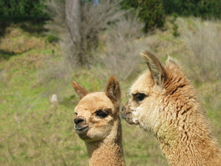 Young Light Brown Alpaca
