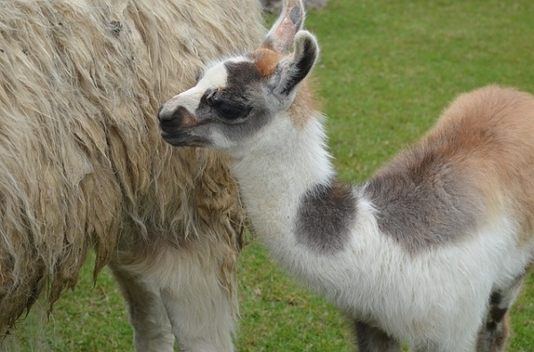 Baby Llama standing next to Mother at Machu Picchu