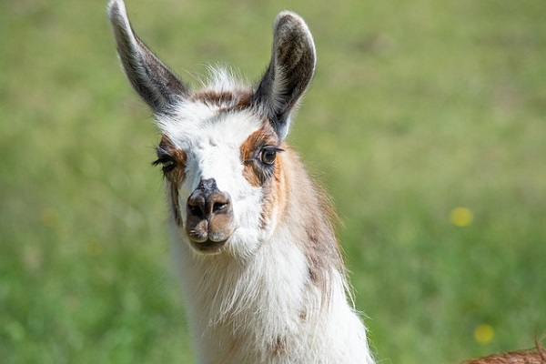 Llama raised it's ears after discovering Lottery Jackpot amount