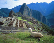 Photo of Llama resting on a hill at Machu Picchu Peru