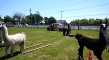 Llama Obstacle Course at the Long Island Fleece and Fiber Fair